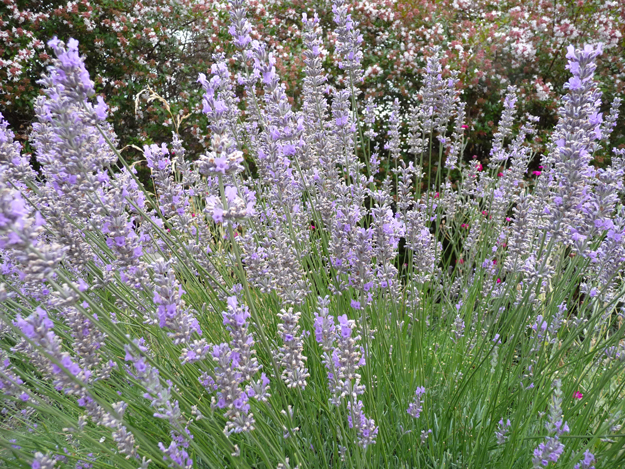 lavender in july, california gardens