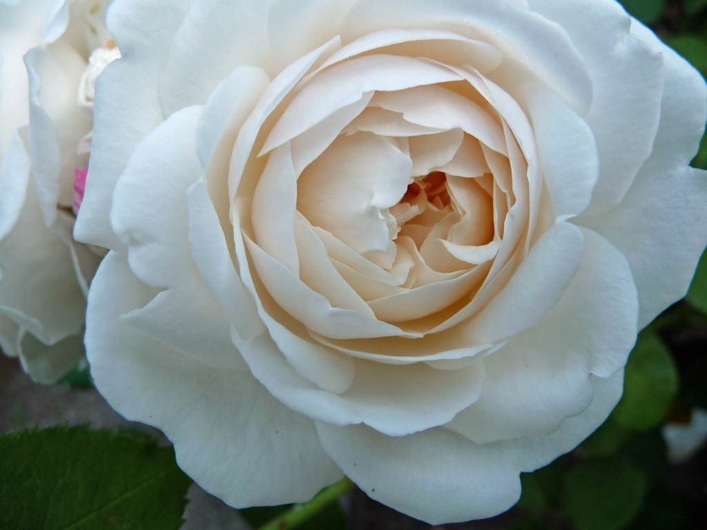 Simple Rose Garden: How To Grow Your First Rose Garden, 13 Simple And Somewhat