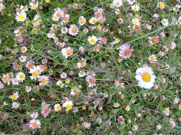 Erigeron-Close-Up