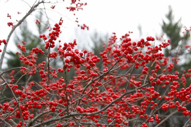 Ice Covered Winterberries by Collage of Life