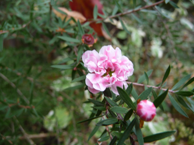 Shrub-with-little-pink-flowers