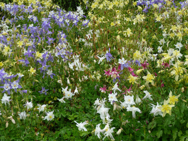 Columbines-at-Filoli