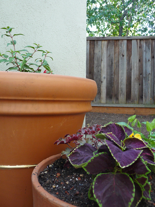 Mrs.-McDowell-Fuchsia-in-Pot-with-Gold-Stripe