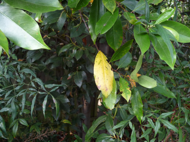 The-Yellowing-of-Leaves