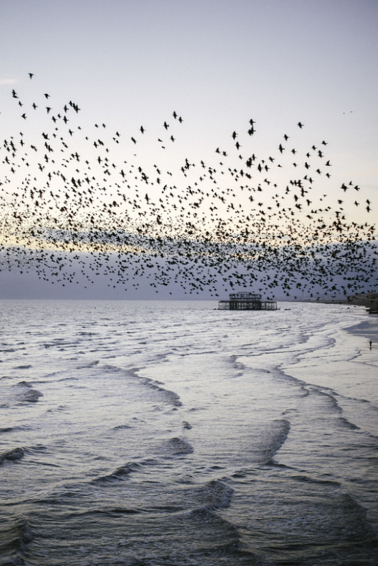 Murmurations Over Brighton by Baby Picture This