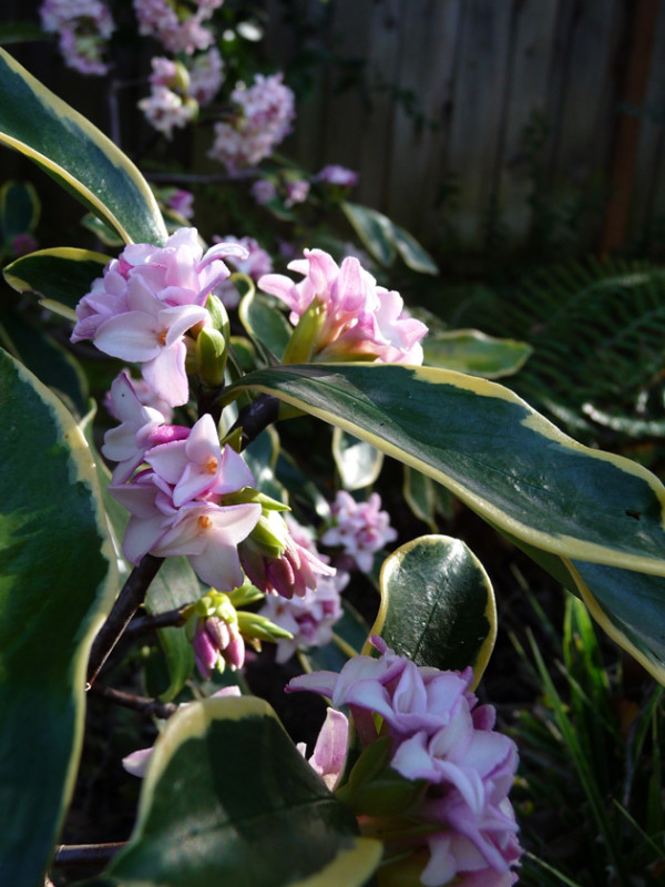 Daphne-in-Bloom