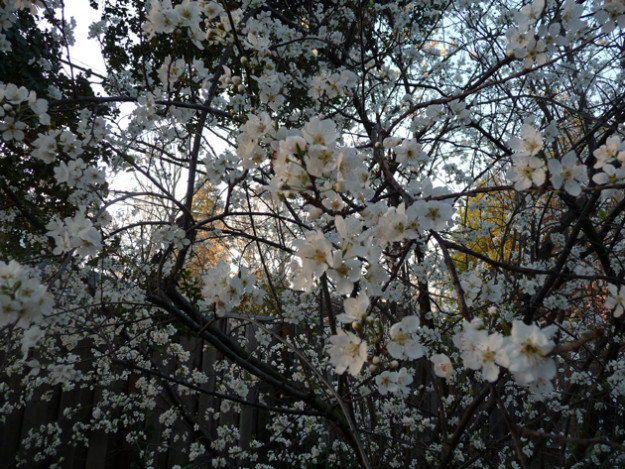 Suddenly-Overnight-The-Plum-Blossoms