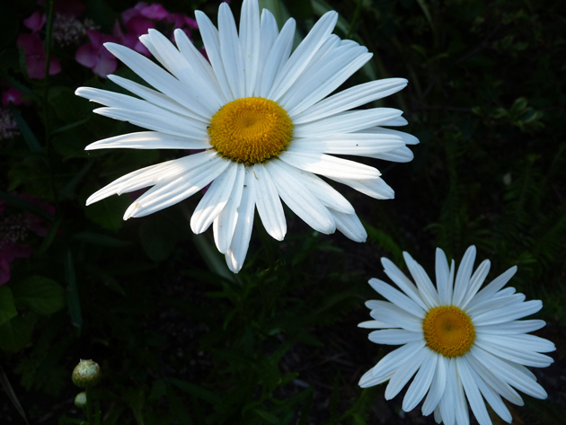 Daisies-Almost-Alone