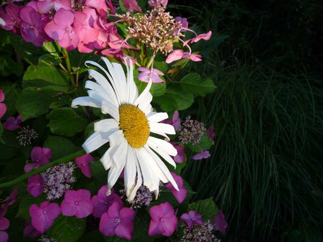Daisies-with-Hydrangea-and-Grass