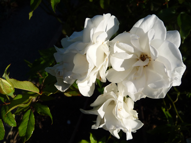 White-Iceberg-Rose-In-The-Morning-Light